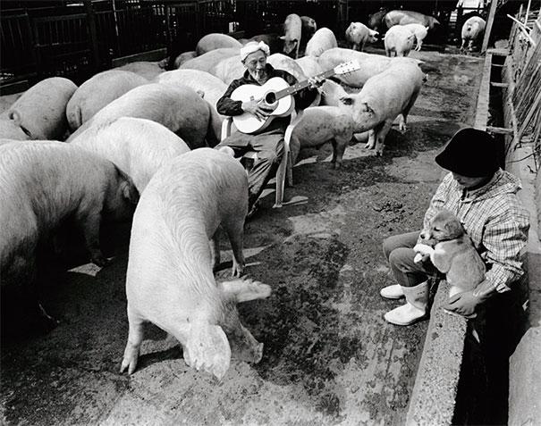 Свиньи и папа-6