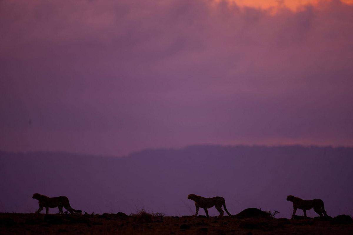Blue Wildebeests at Sunrise, Masai Mara, Kenya  № 1443723 загрузить
