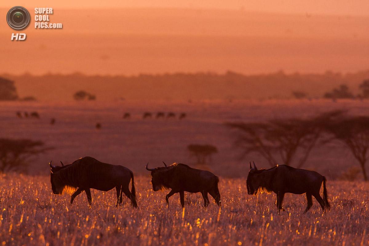Blue Wildebeests at Sunrise, Masai Mara, Kenya  № 1443677  скачать