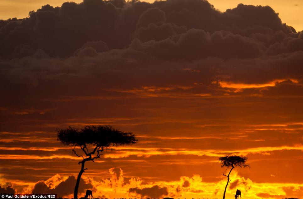 Blue Wildebeests at Sunrise, Masai Mara, Kenya  № 1443639 без смс