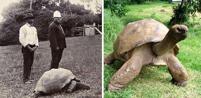 Черепаха Джонатан в 1902 году и сегодня.