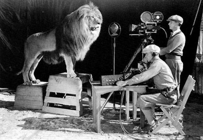 Операторы записывают львиный рёв для логотипа кинокомпании Metro Goldwyn Mayer