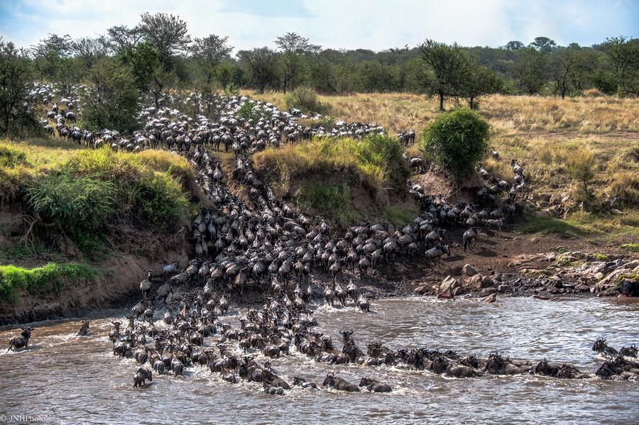 Антилопа гну миграция