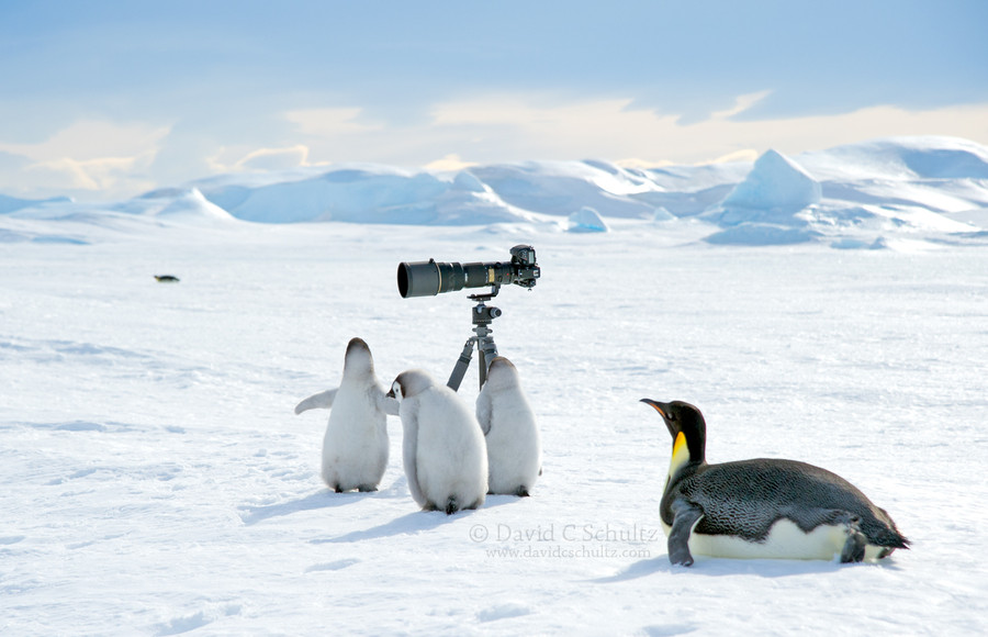 Как тусуются пингвины - 30 милейших фотографий