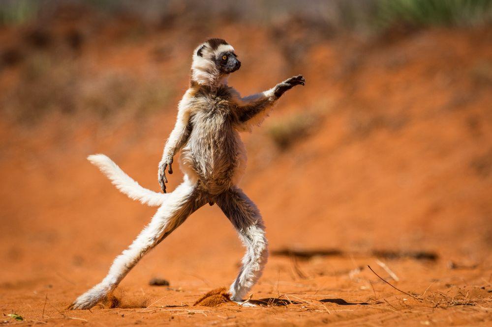 Tantcuiushchii lemur Sifaka Verro