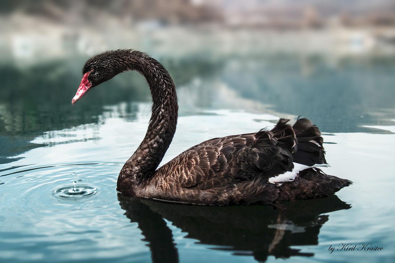 Черный лебедьraquo