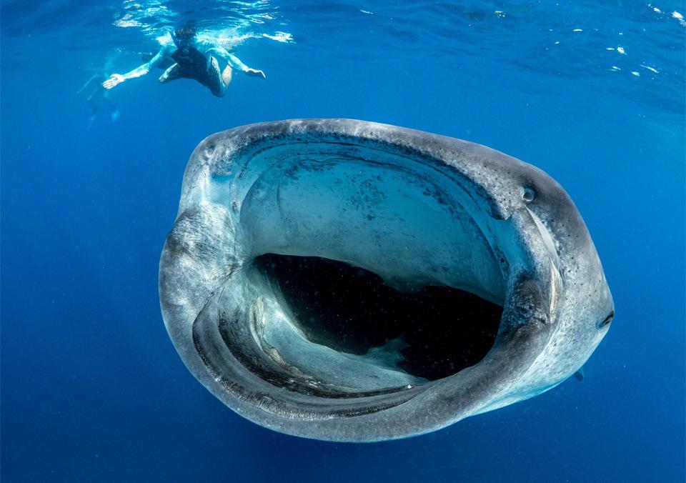 Китовая акула и офисный планктон