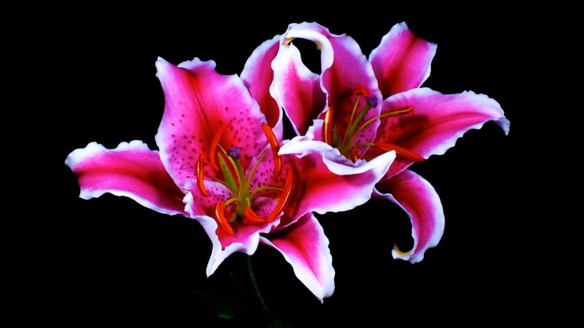 Как распускаются цветы - потрясающее видео time-lapse