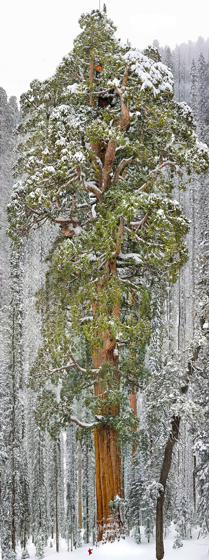 Tallest tree in the world