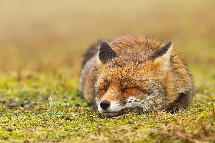 Непредсказуемые дикие лисы в фотографиях Розелин Реймонд-13