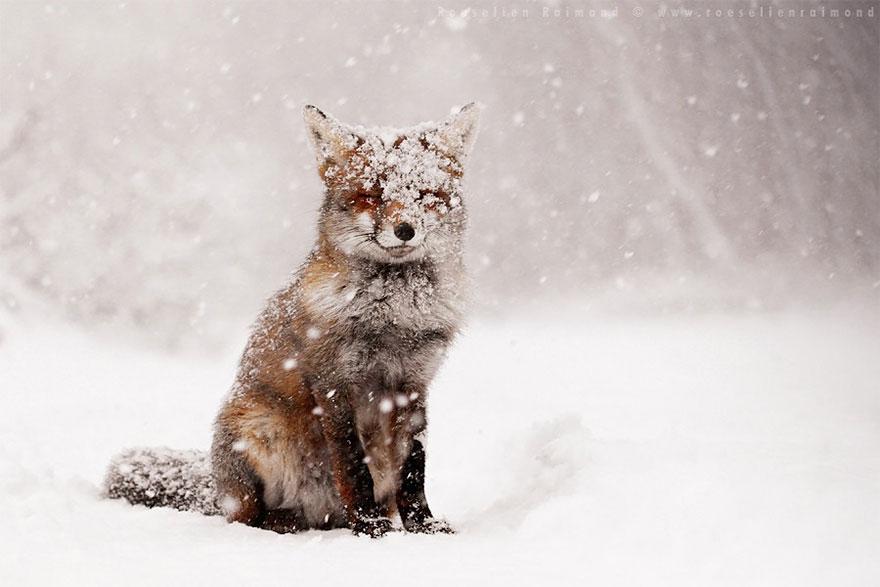 Непредсказуемые дикие лисы в фотографиях Розелин Реймонд-2