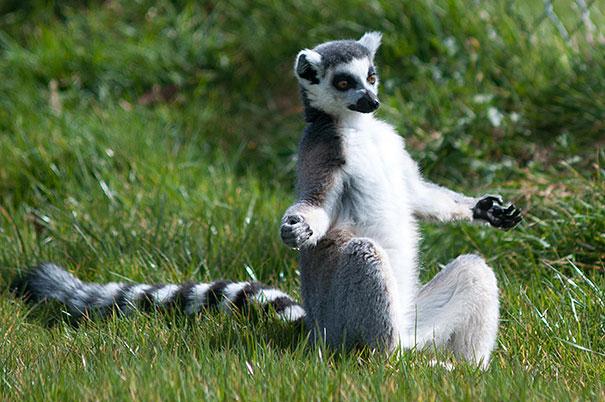 Йога в исполнении животных-32