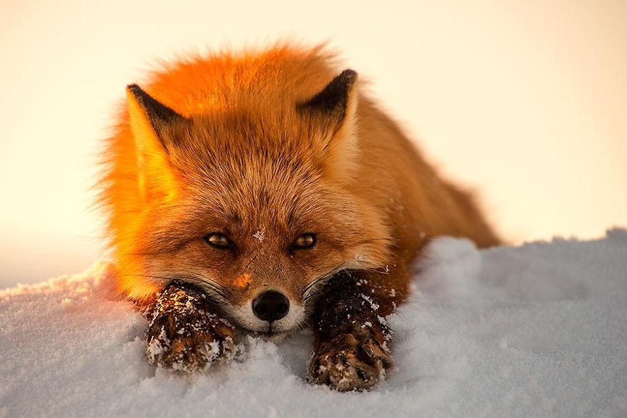 Фотоохота на лисиц за полярным кругом с Иваном Кисловым