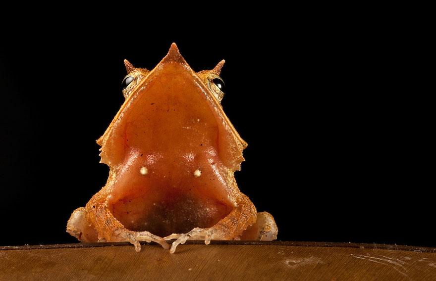 Фотографии редчайших лягушек в мире-1