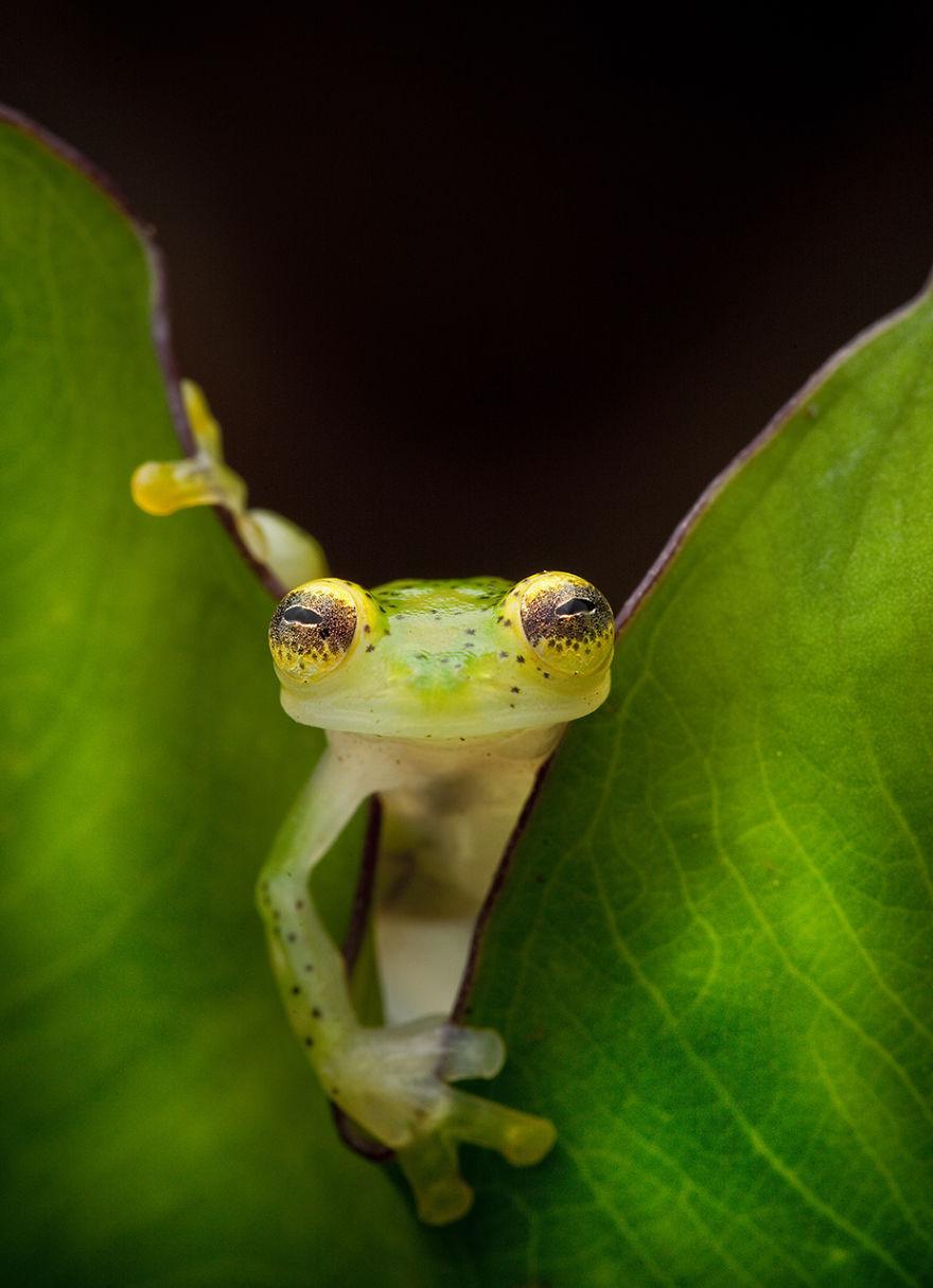 Фотографии редчайших лягушек в мире