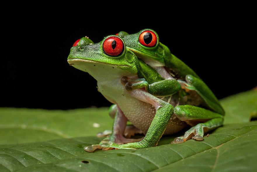 Фотографии редчайших лягушек в мире-6