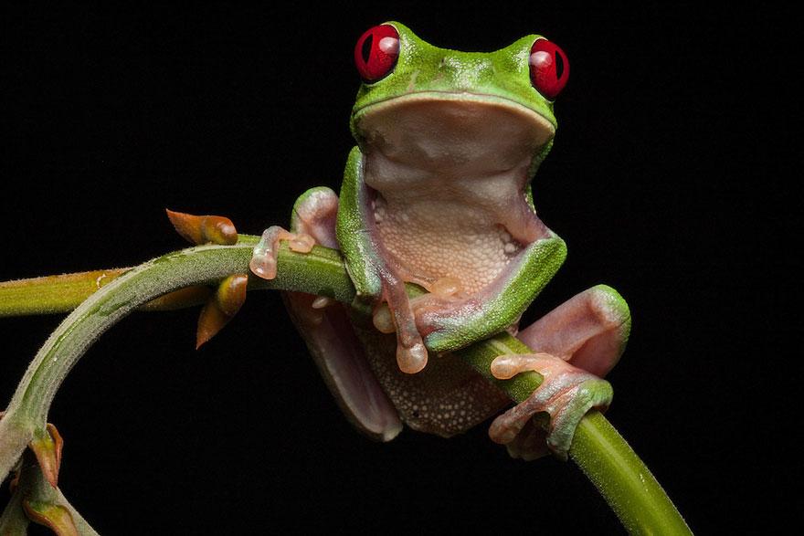 Фотографии редчайших лягушек в мире-4