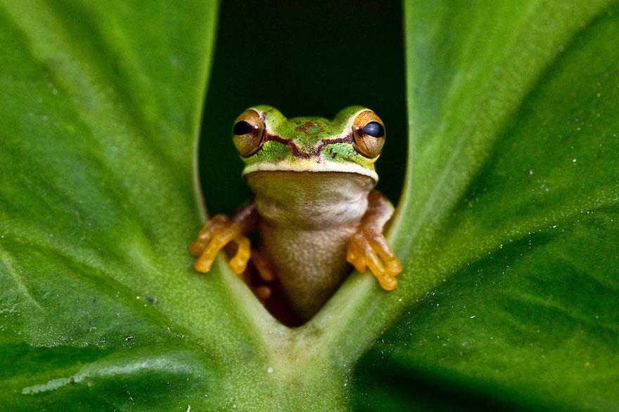 Фотографии редчайших лягушек в мире-7