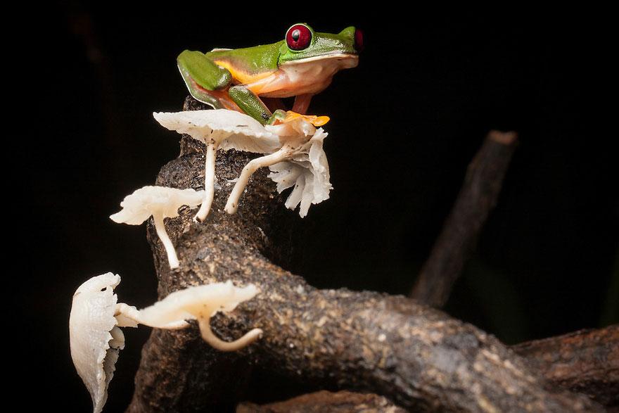 Фотографии редчайших лягушек в мире-2