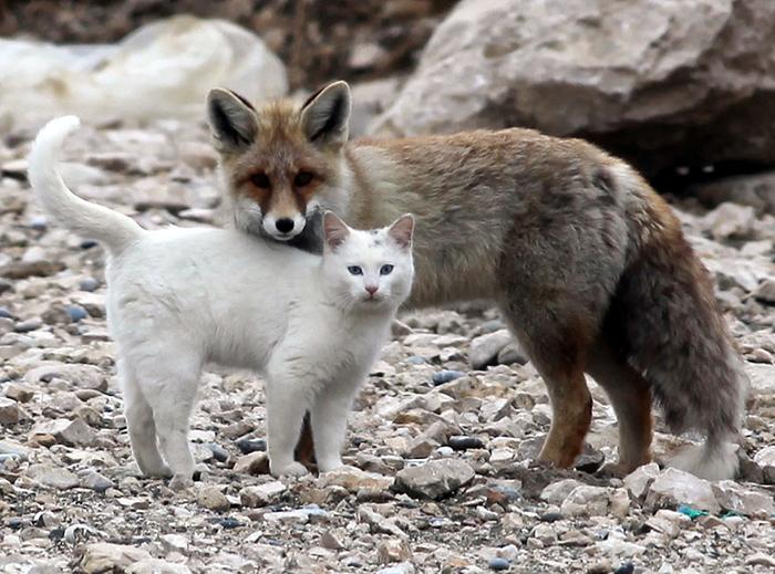 Кот и лиса 1