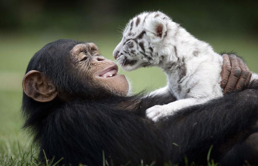 Шимпанзе Анджана и тигрята 11