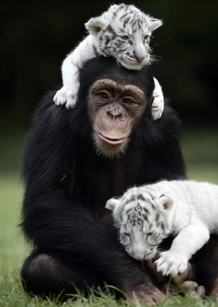Шимпанзе Анджана и тигрята 12