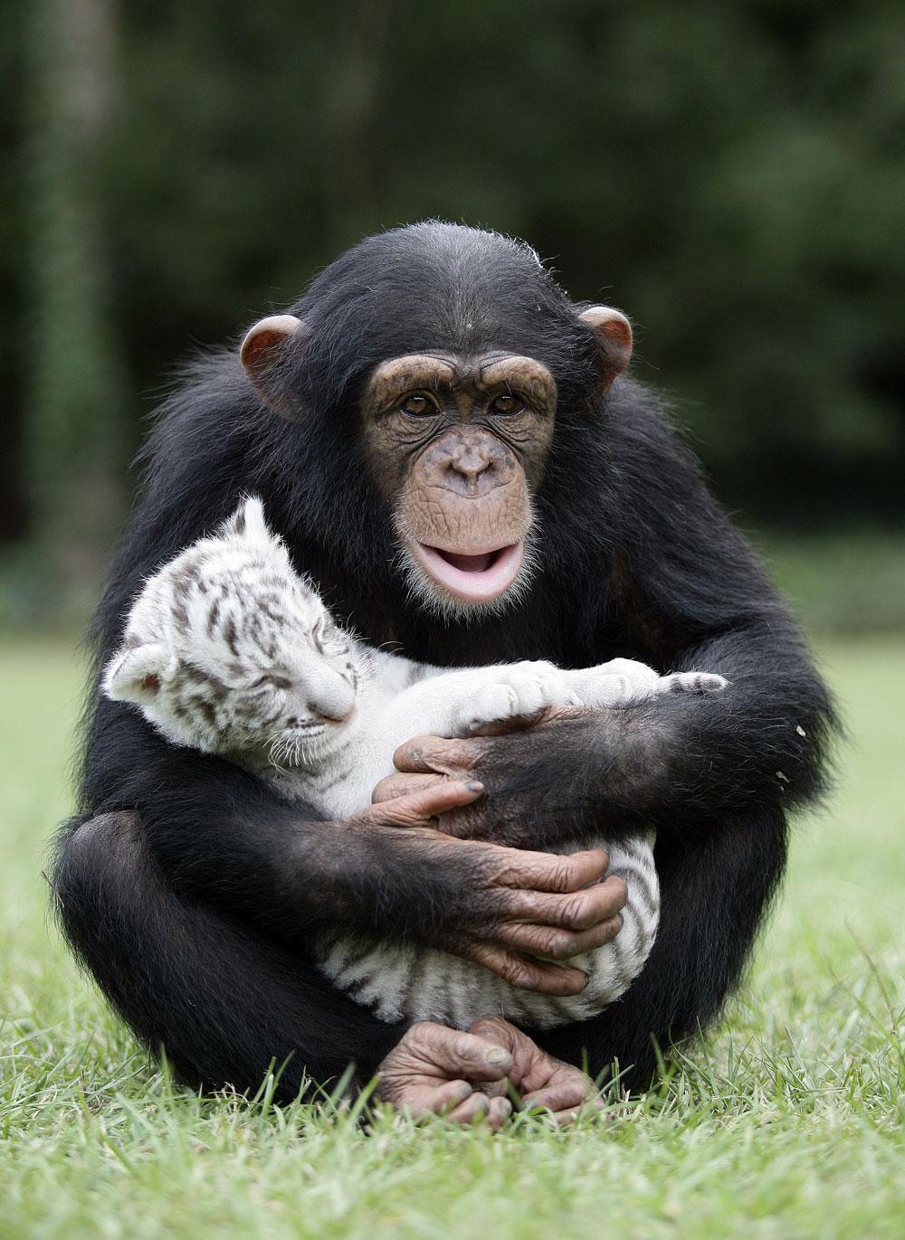 Шимпанзе Анджана и тигрята 13