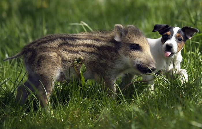 Поросёнок дикого кабана Мани и собачка Кенди 19