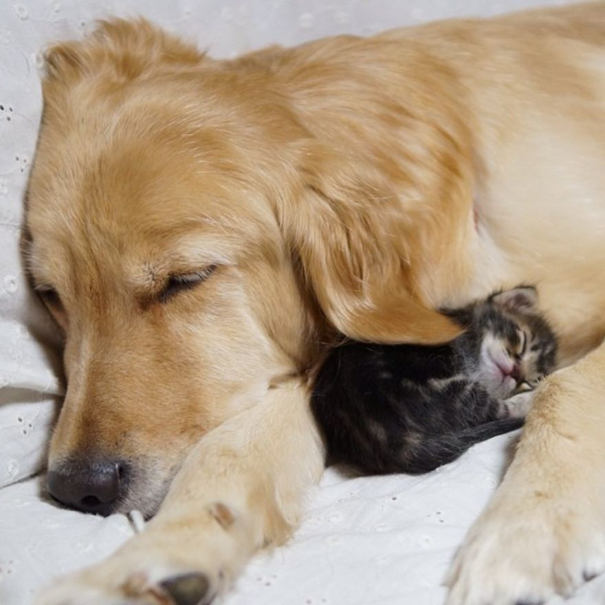 Золотистый ретривер и брошенный котёнок 23