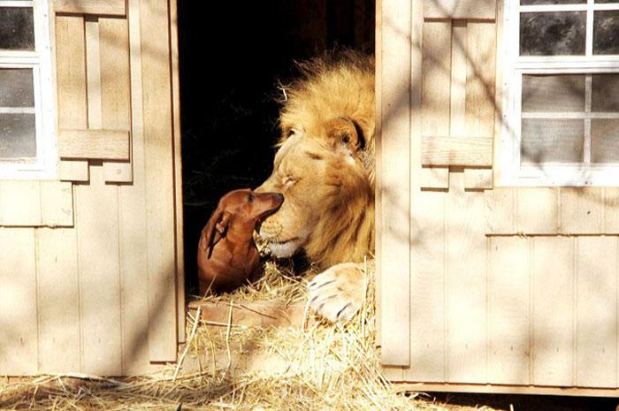 Собака Майло и лев Бондиггер 24