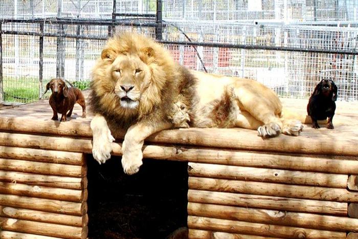 Собака Майло и лев Бондиггер 25