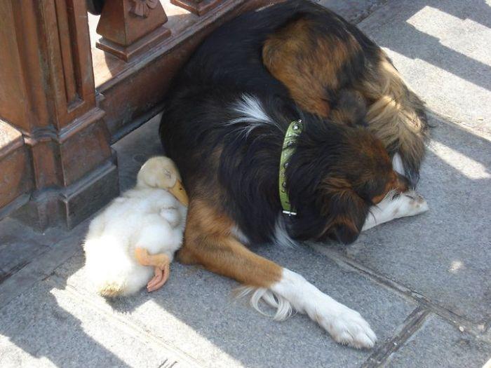 Утка и собака 28