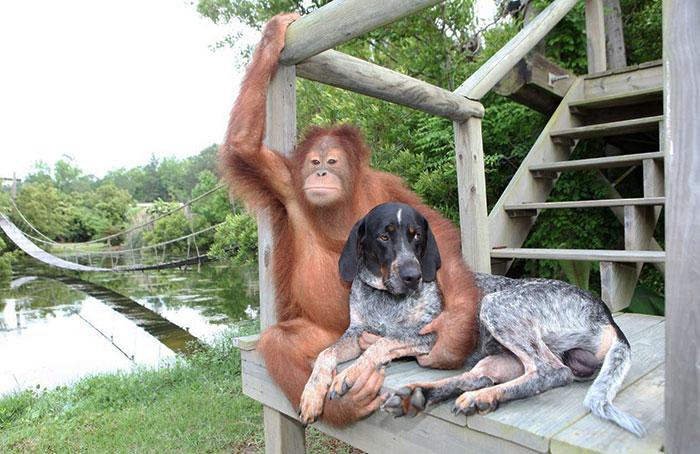 Орангутан Сурия и гончая Роско 29