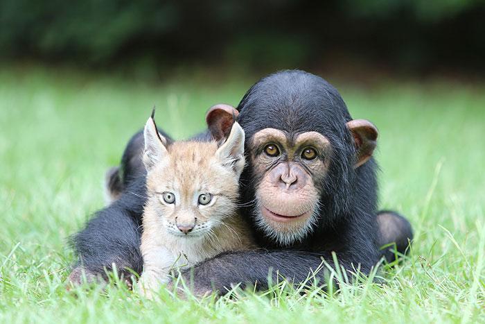 Детёныш шимпанзе и рысь 30