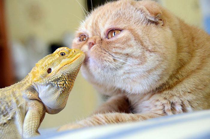 Игуана и кот