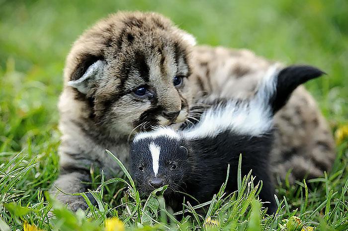 Львёнок и маленький скунс