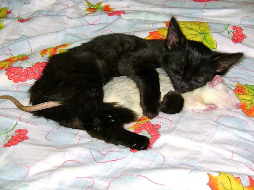 Котёнок и крыса