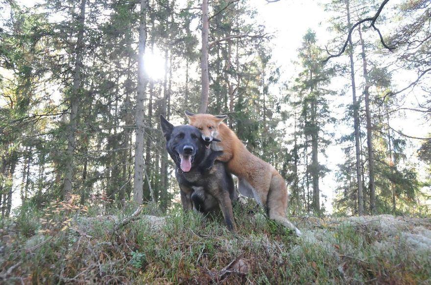 Собака Тинни и дикий рыжий лис Сниффер 4