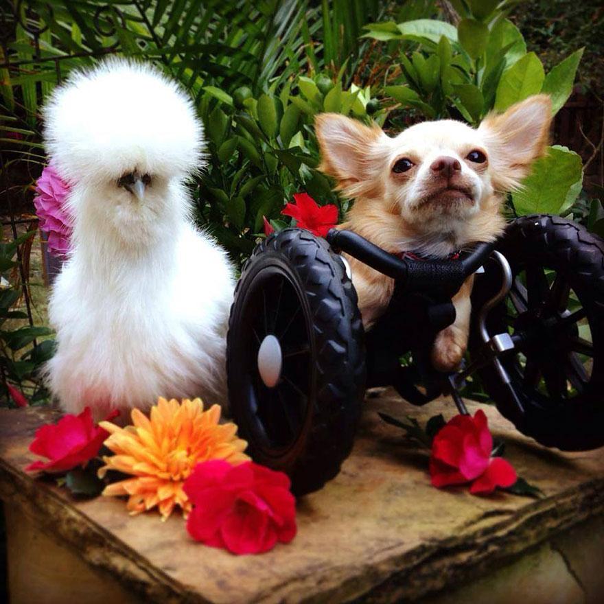 Пушистый цыплёнок и двуногий чихуахуа