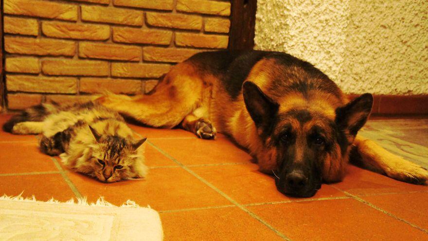 Овчарка и кошка