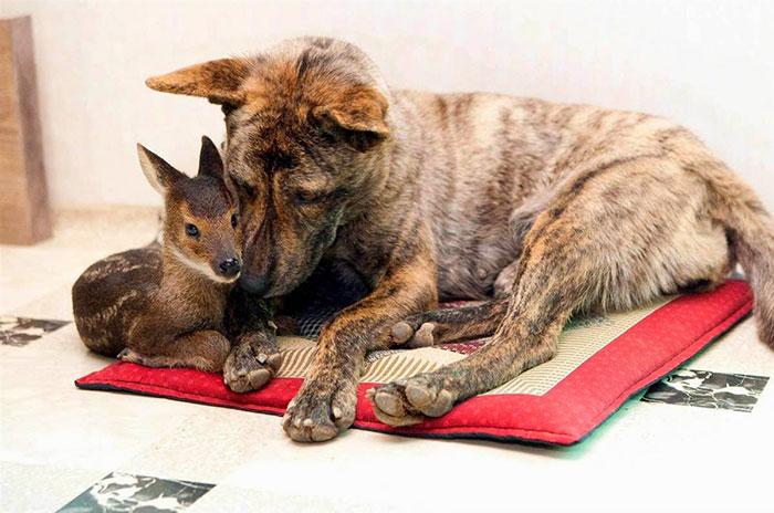 Собака и маленький лось