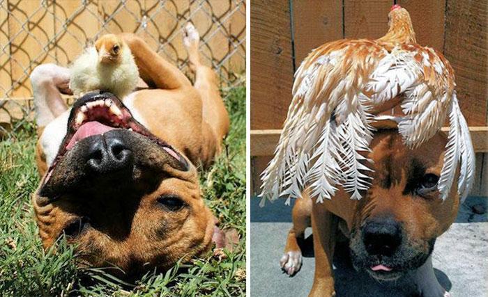 Лучшие друзья питбуль и цыплёнок