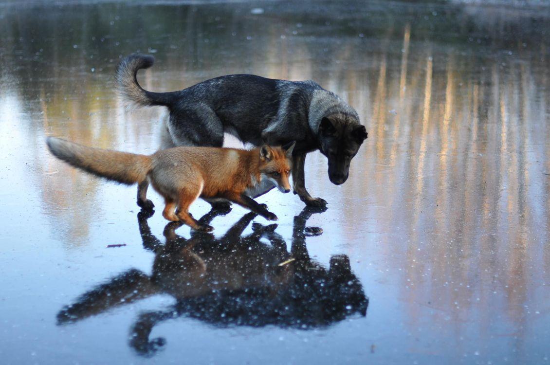 Собака Тинни и дикий рыжий лис Сниффер 5