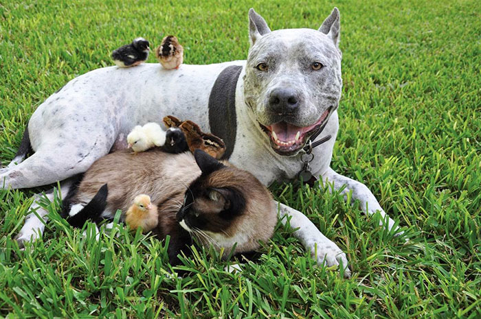 Питбуль, кошка и цыплята