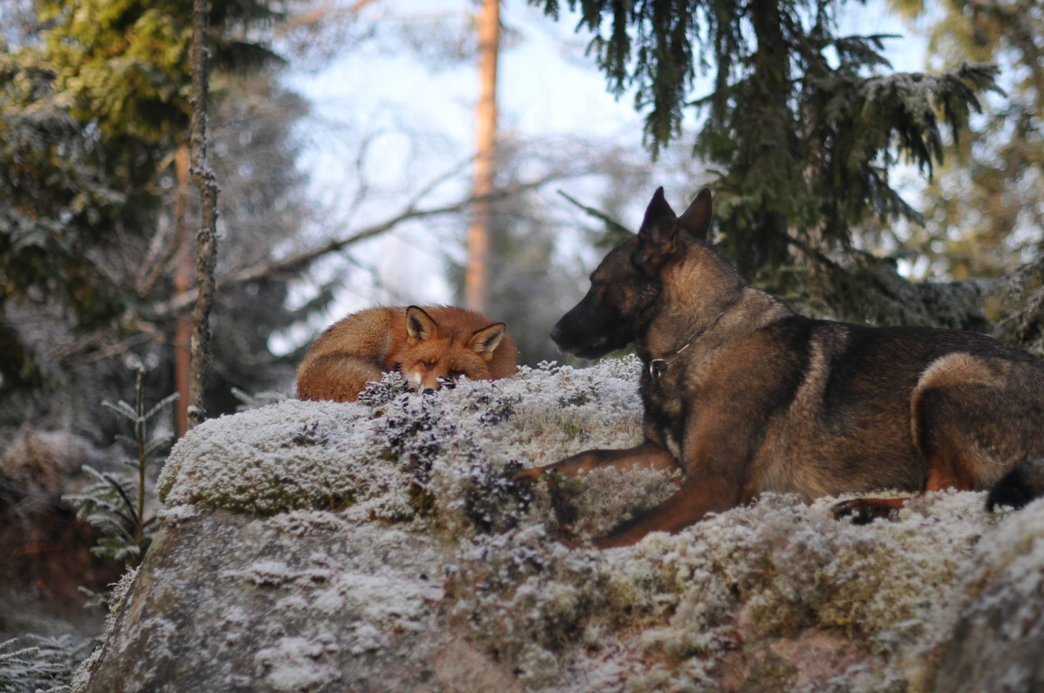 Собака Тинни и дикий рыжий лис Сниффер 6