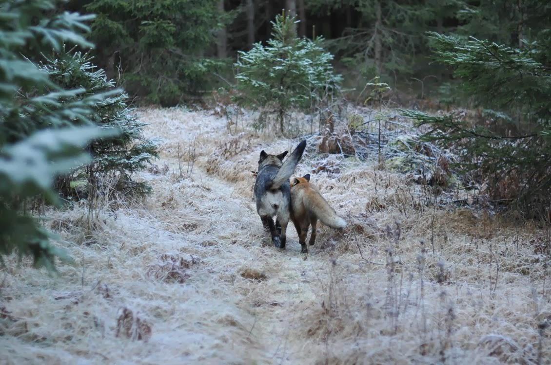 Собака Тинни и дикий рыжий лис Сниффер 7