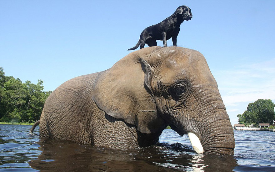 Африканский слон Бабблс и чёрный лабрадор Белла 8