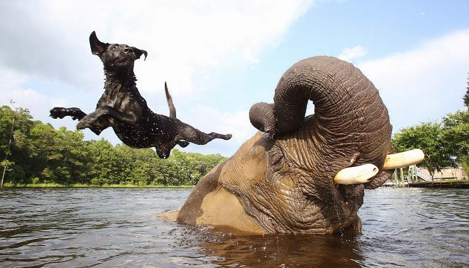 Африканский слон Бабблс и чёрный лабрадор Белла 9