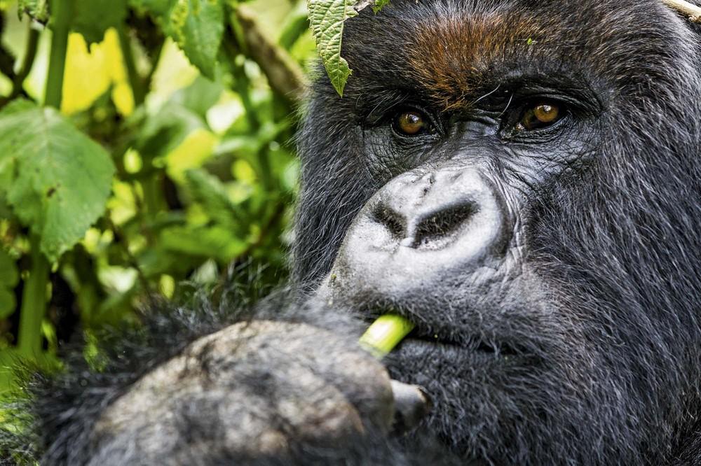 Pianaia gornaia gorilla