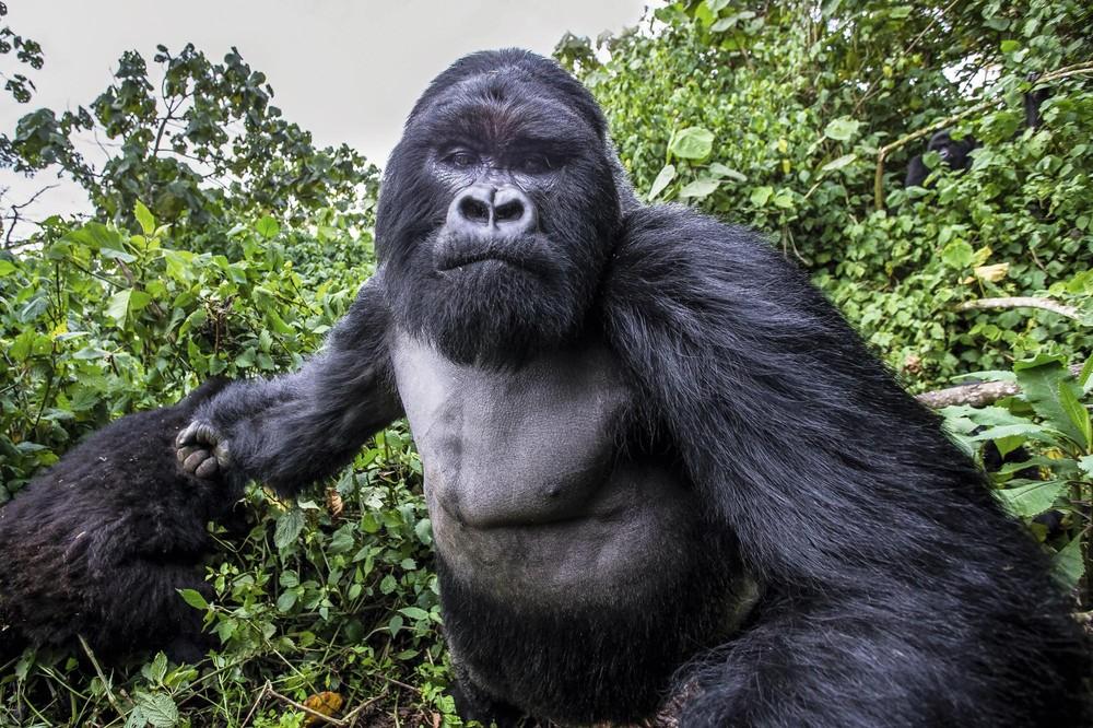 Pianaia gornaia gorilla -1